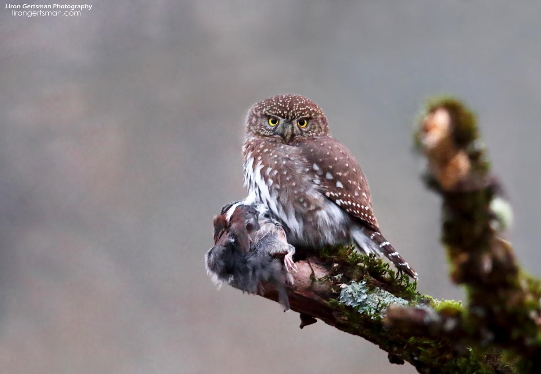 Northern-Pygmy-Owl-web.jpg