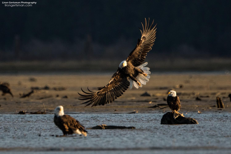 Bald-Eagle-2-web.jpg