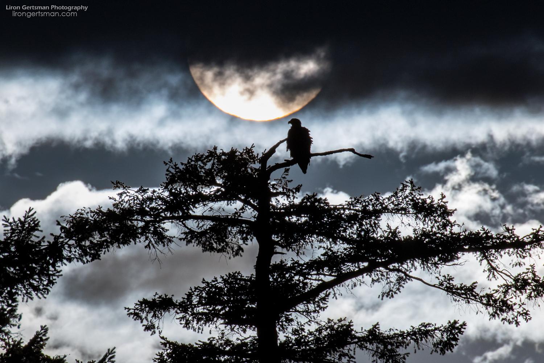Bald-Eagle-with-sun-web.jpg