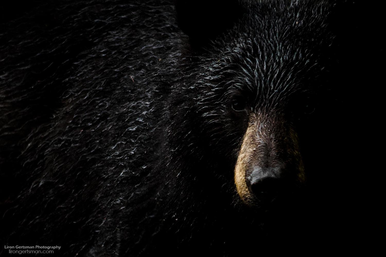 Black-Bear-web.jpg