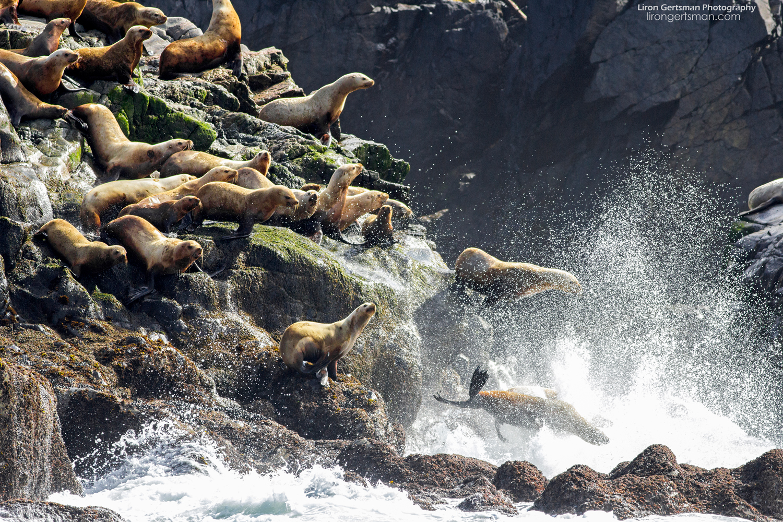 Sea-lions-web.jpg