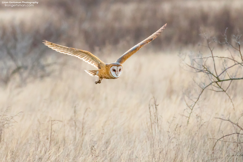 Barn-Owl-web.jpg