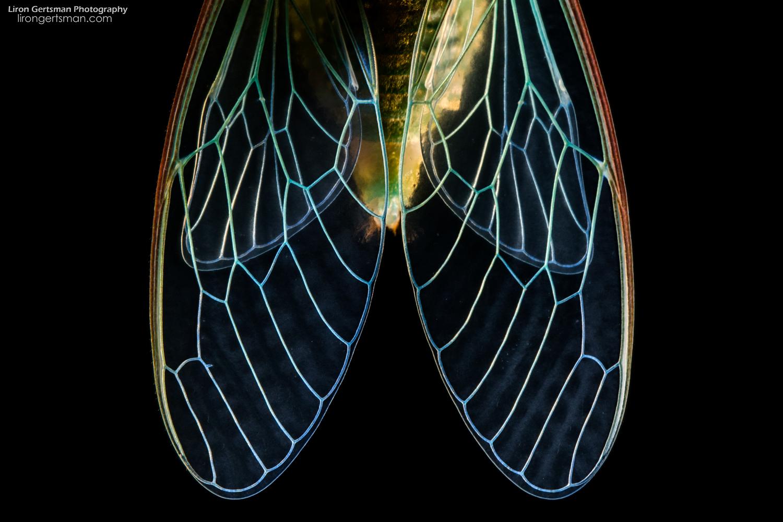 cicada-web.jpg