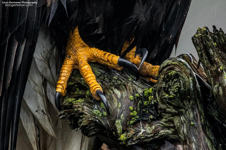 Eagle-talons-web.jpg