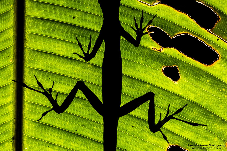 Equatorial-Anole-silhouette-web.jpg