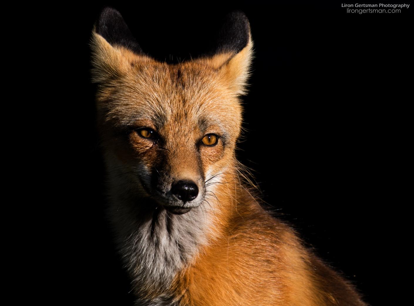 Red-Fox-web.jpg