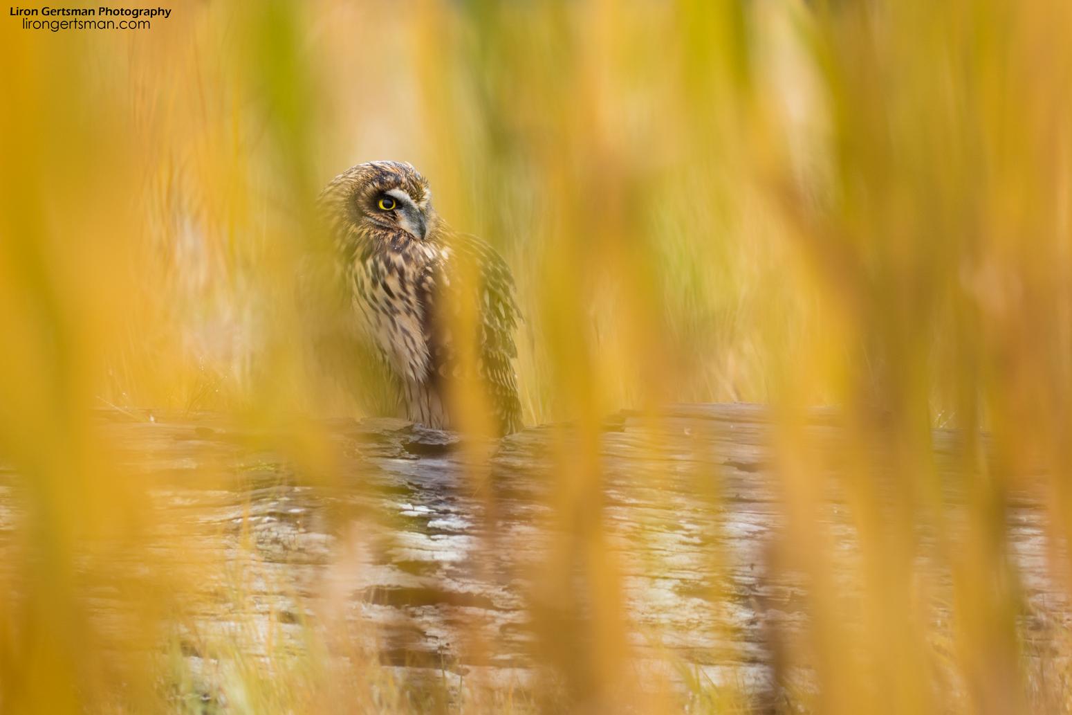 Short-eared-Owl-web.jpg