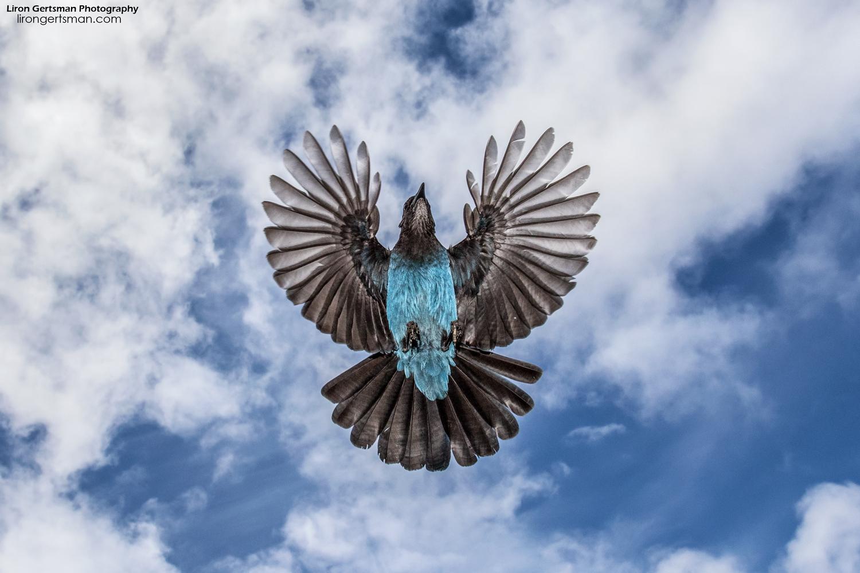 Steller's-Jay-in-flight-sky-wide-angle-web.jpg