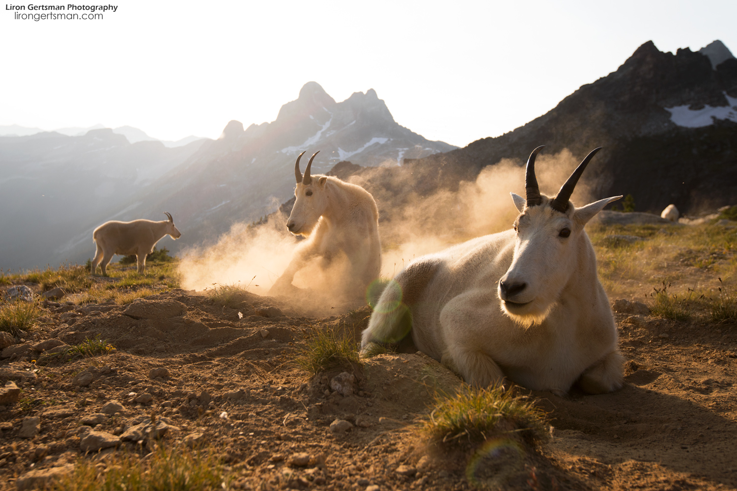 This photo, taken on our first afternoon with the goats, shows the three largest billies (males) of the herd. The goats would frequently kick up dust to create comfy places to rest and to ward off the persistent swarms of biting insects.