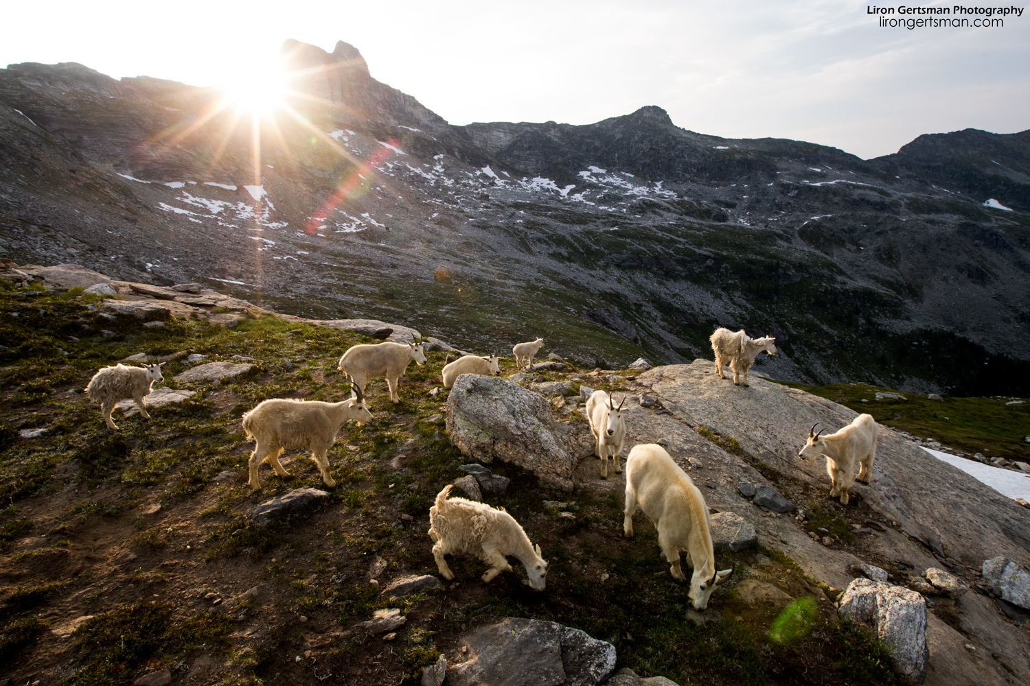 This is the typical morning scene that we would wake up to. The most goats we ever saw at once was thirteen, and this photo shows ten of them that were feeding by our campsite shortly after sunrise one morning.