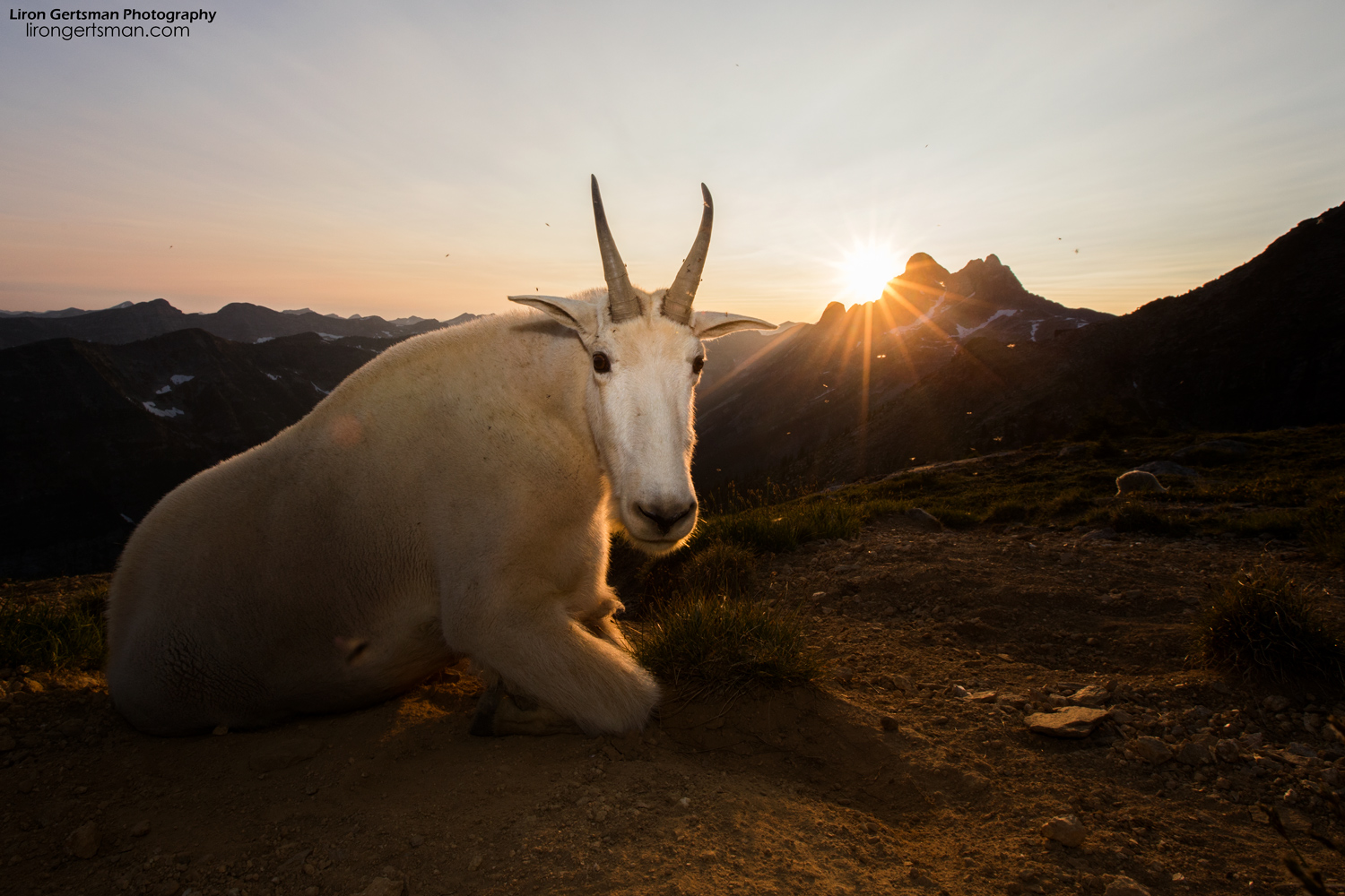 """This was the biggest and seemingly most dominant goat of the group, an impressive looking male that we affectionately referred to as """"big boy"""". Big boy often came the closest to us as we were photographing."""