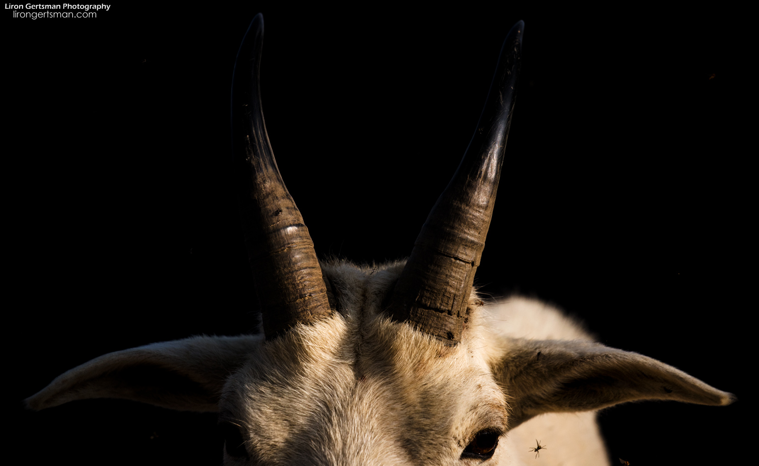 Whenever a large billy goat would approach, I got a good look at the horns, and it served as a strong reminder of their potential power. On the last day, I made it my mission to get a photo showcasing this. When a goat stood in the spotlight of the morning sunshine against a hillside in shade, I focused on the horns and got this shot.