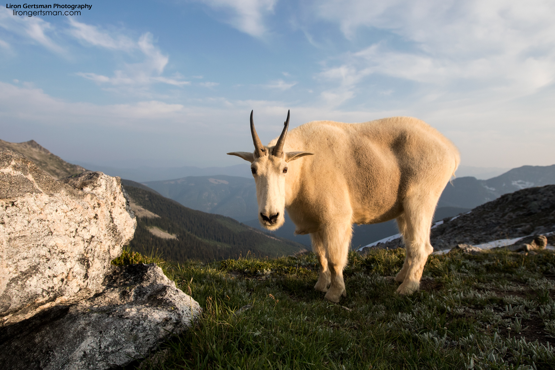 Mountain-Goat-01-web.jpg