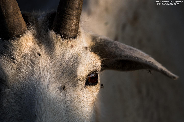 Mountani-Goat-closeup-web.jpg