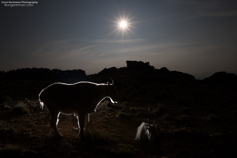 Mountain-Goat-backlit-moonlight1-web.jpg