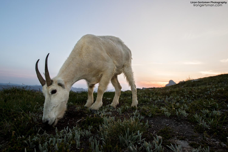 Mountain-Goat-dusk-01-web.jpg