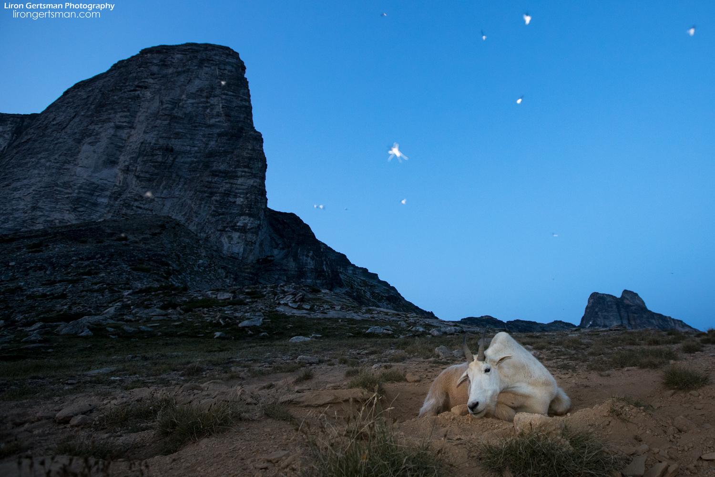 Mountain-Goat-Dusk-Bugs-web.jpg