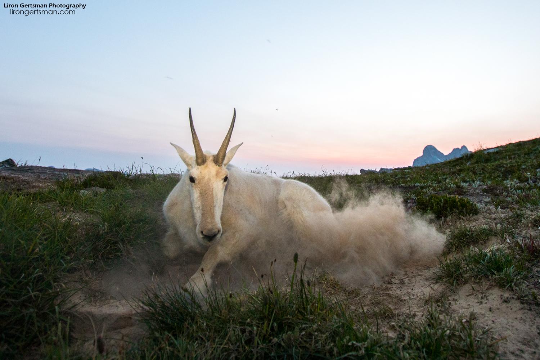 Mountain-Goat-dusk-dust-web.jpg