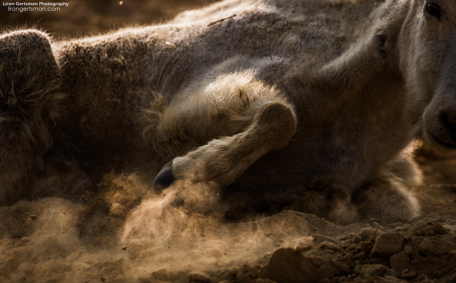 Mountain-Goat-hoof-kicking-up-dust-web.jpg