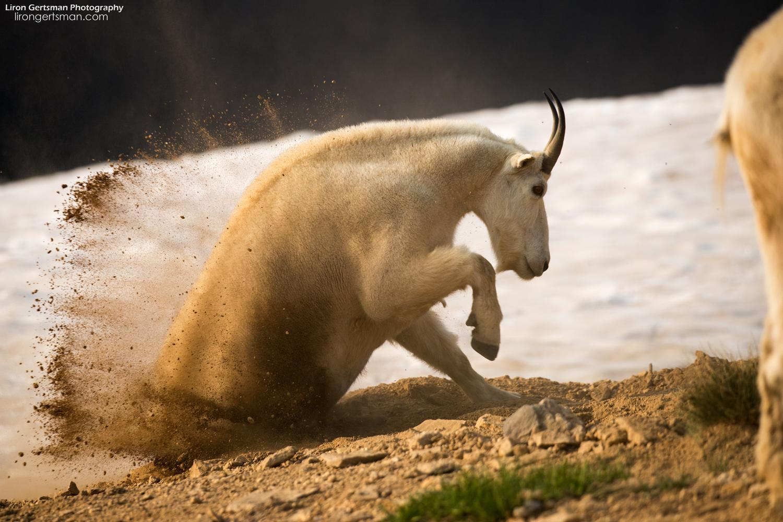 Mountain-Goat-kicking-up-dirt-2-web.jpg
