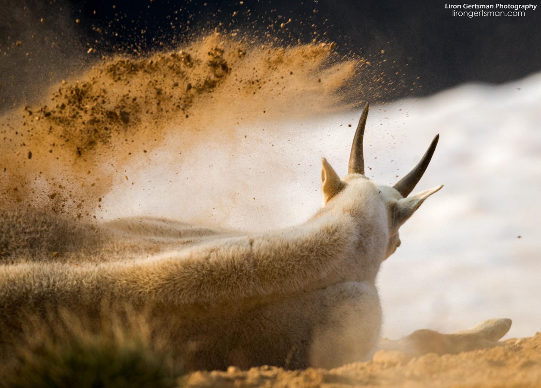 Mountain-Goat-kicking-up-dirt-web.jpg