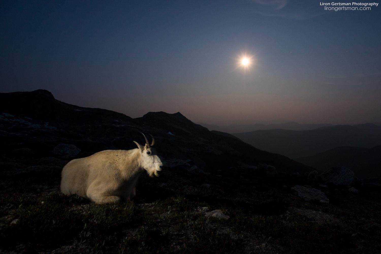 Mountain-Goat-moonrise-web.jpg
