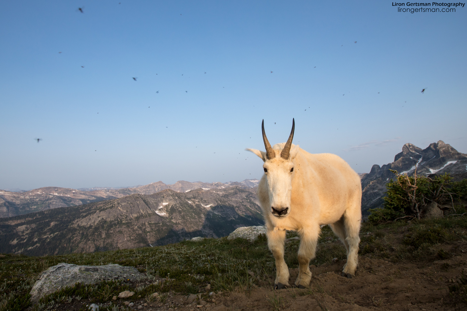 Mountain-Goat-morning-flies-web.jpg