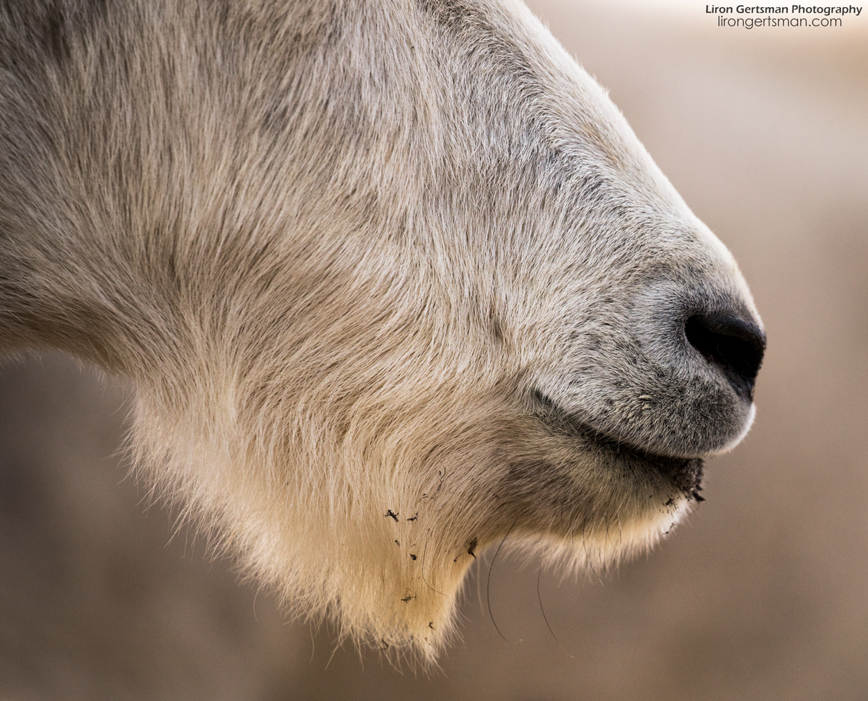 Mountain-Goat-nose-web.jpg