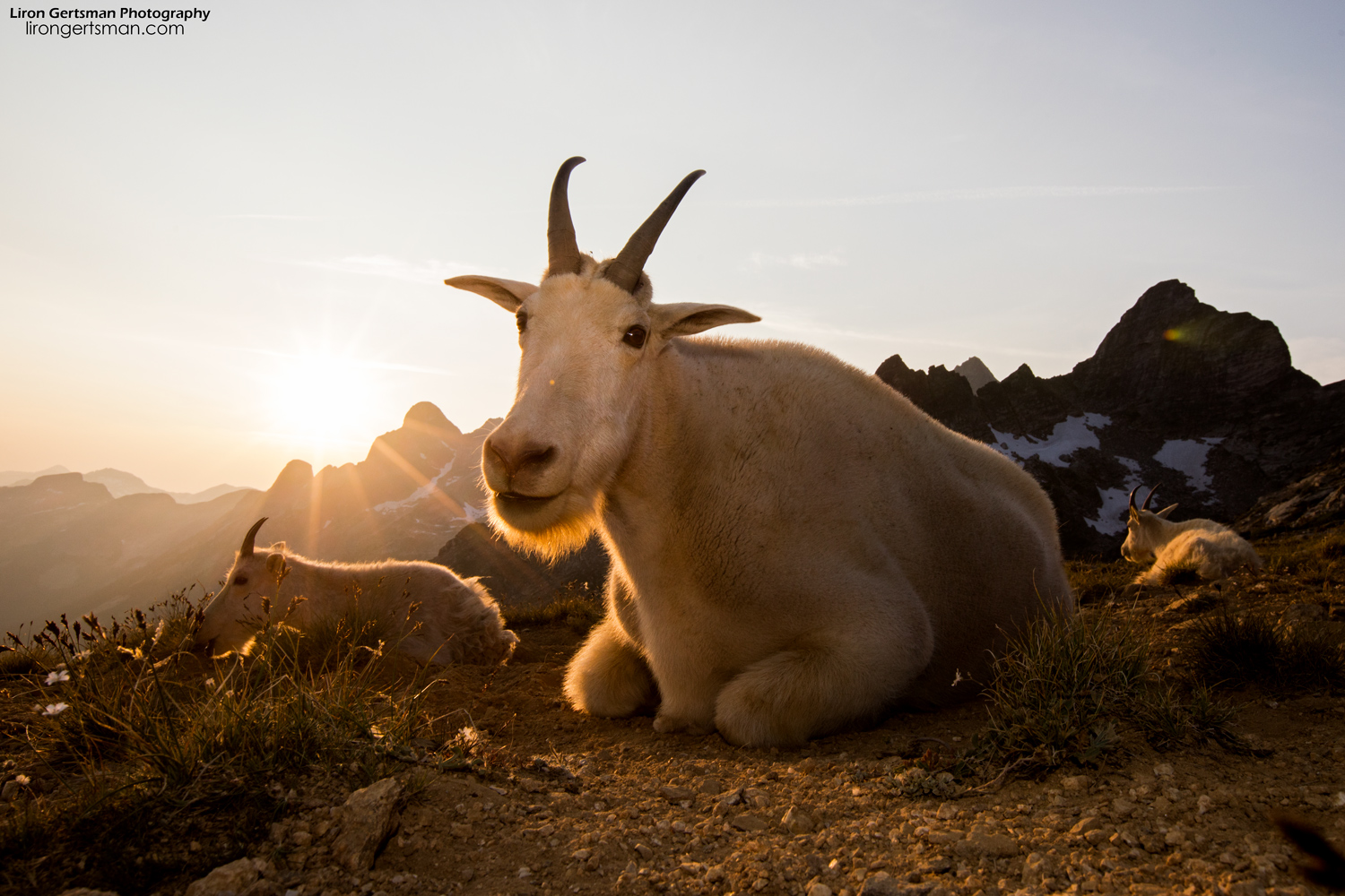 Mountain-Goats-Sunset-web.jpg