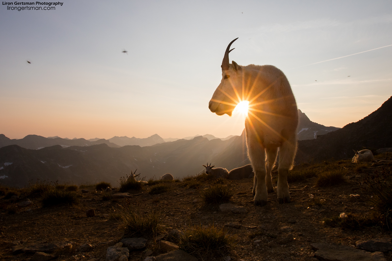 Mountain-Goat-sunset-starburst-web.jpg