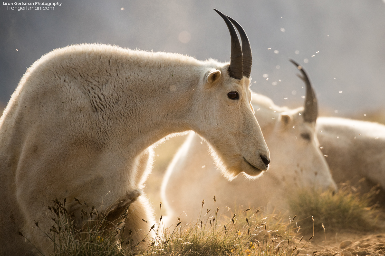 Mountain-Goats-up-close-flies-eye-web.jpg