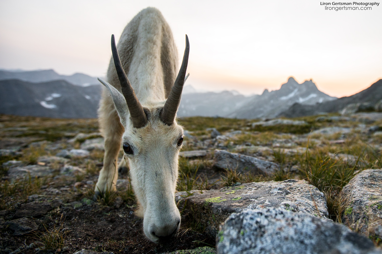 Mountain-Goat-up-close-web.jpg
