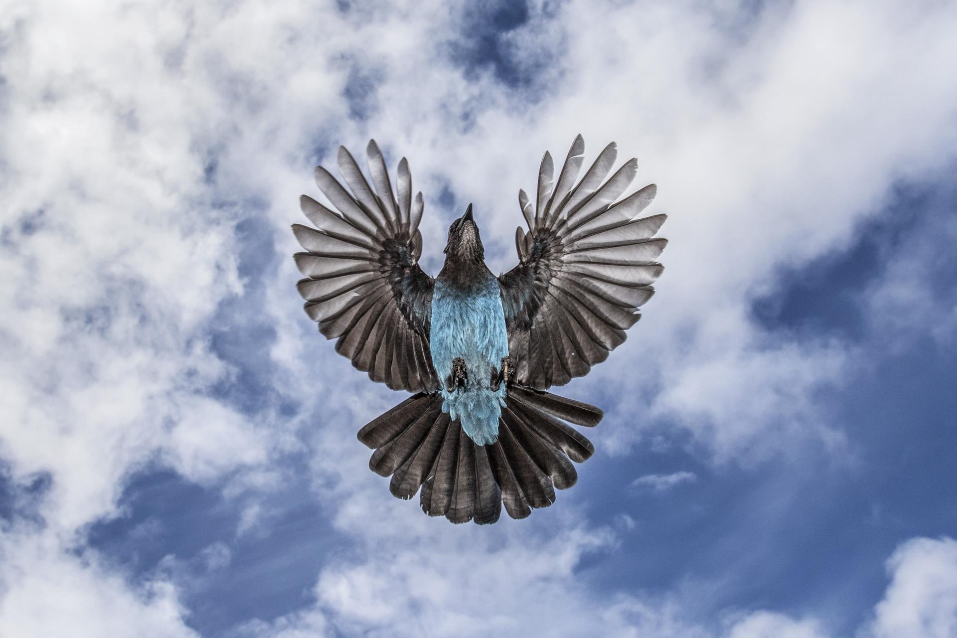 Steller's Jay in flight sky wide angle.jpg