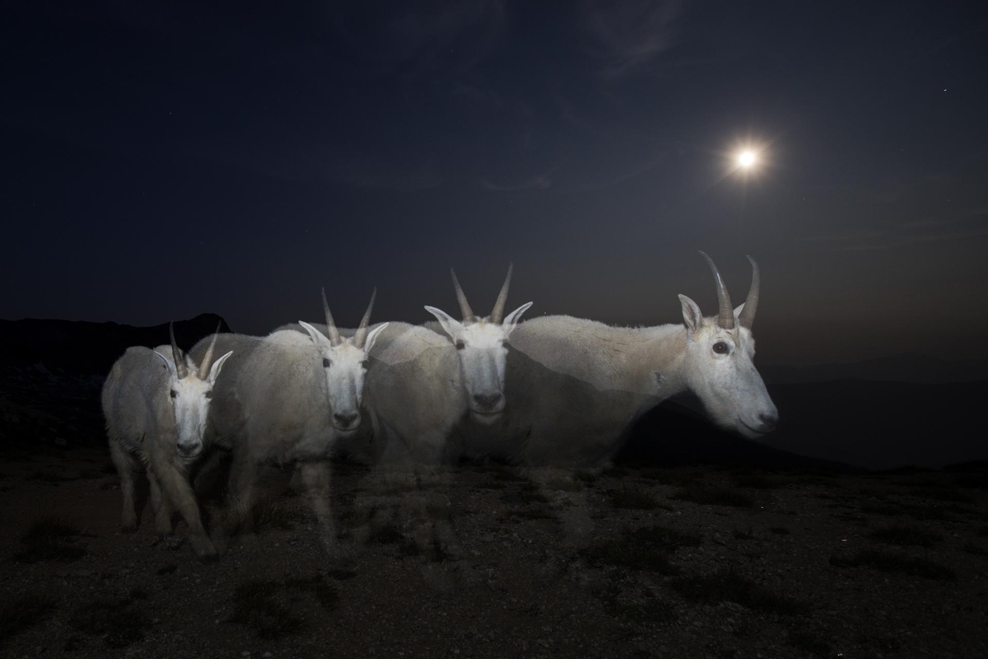 Mountain Goat Ghosts final.jpg