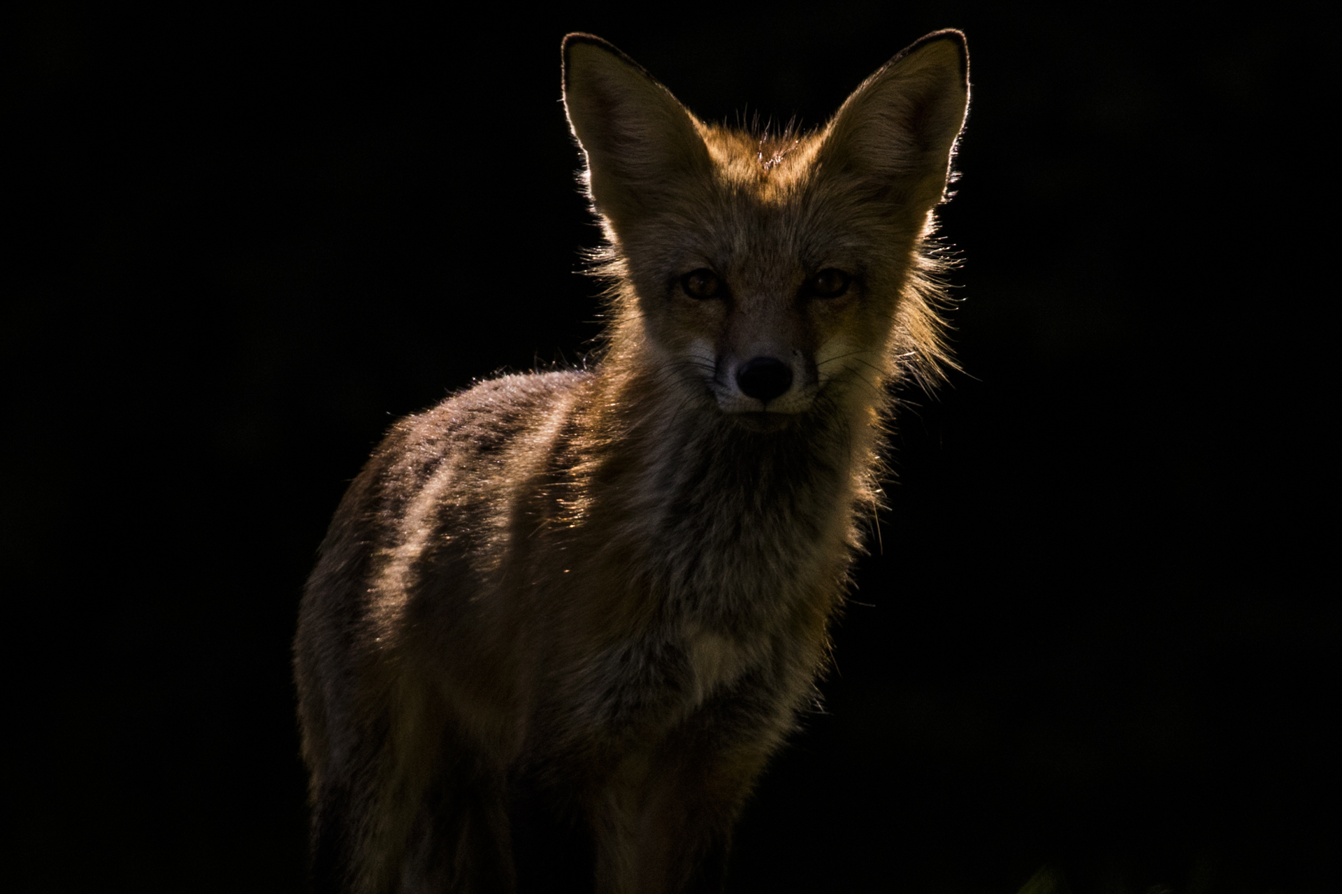 Red Fox wpy1.jpg