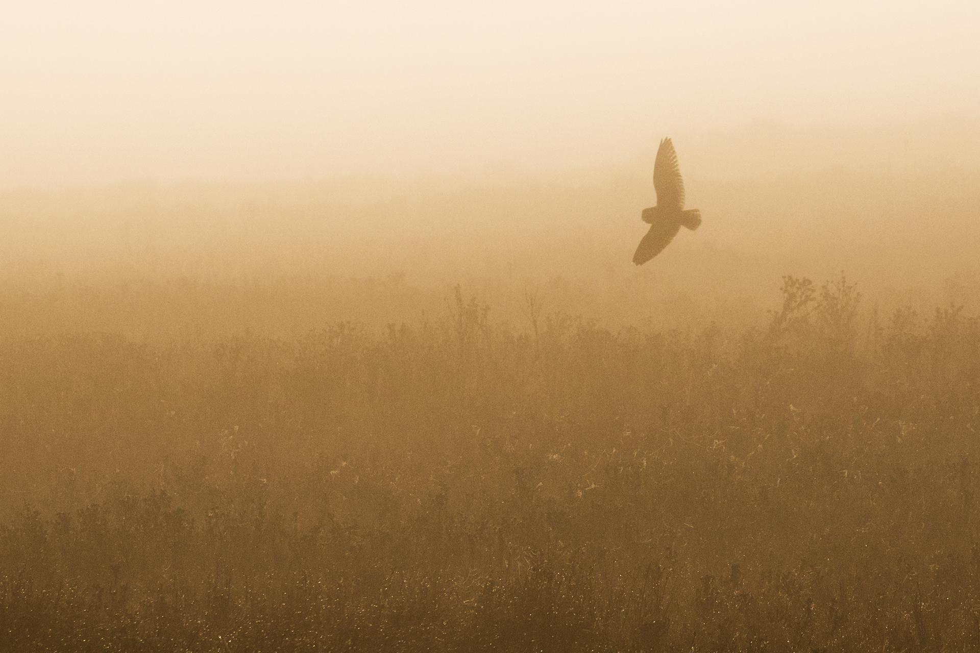 Short-eared Owl in the fog wpy.jpg