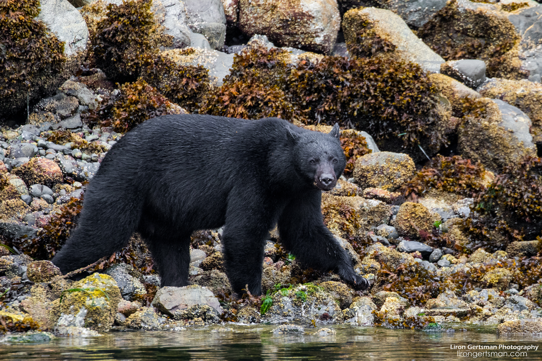 Black-Bear-intertidal-web.jpg