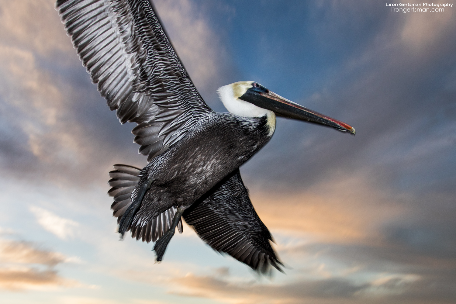 Brown-Pelican-flight-wide-web.jpg