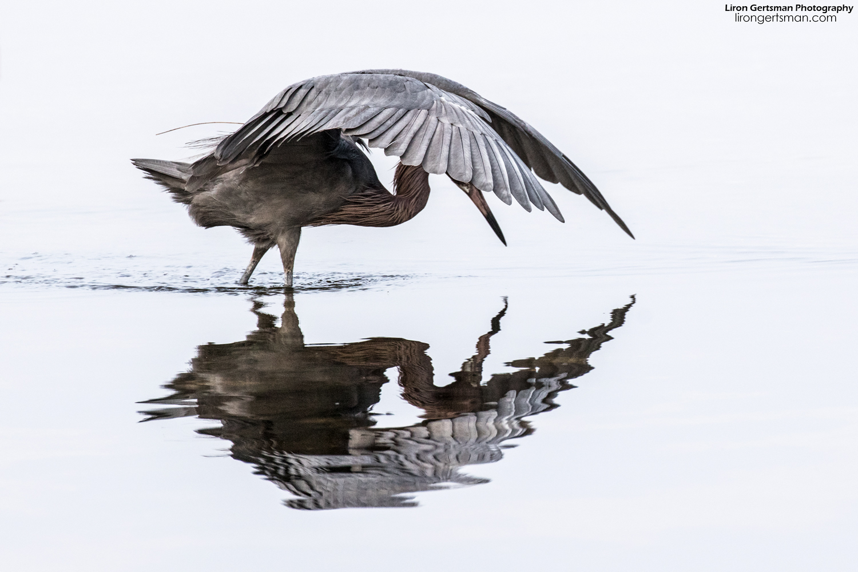 Reddish-Egret-clean-01-web.jpg