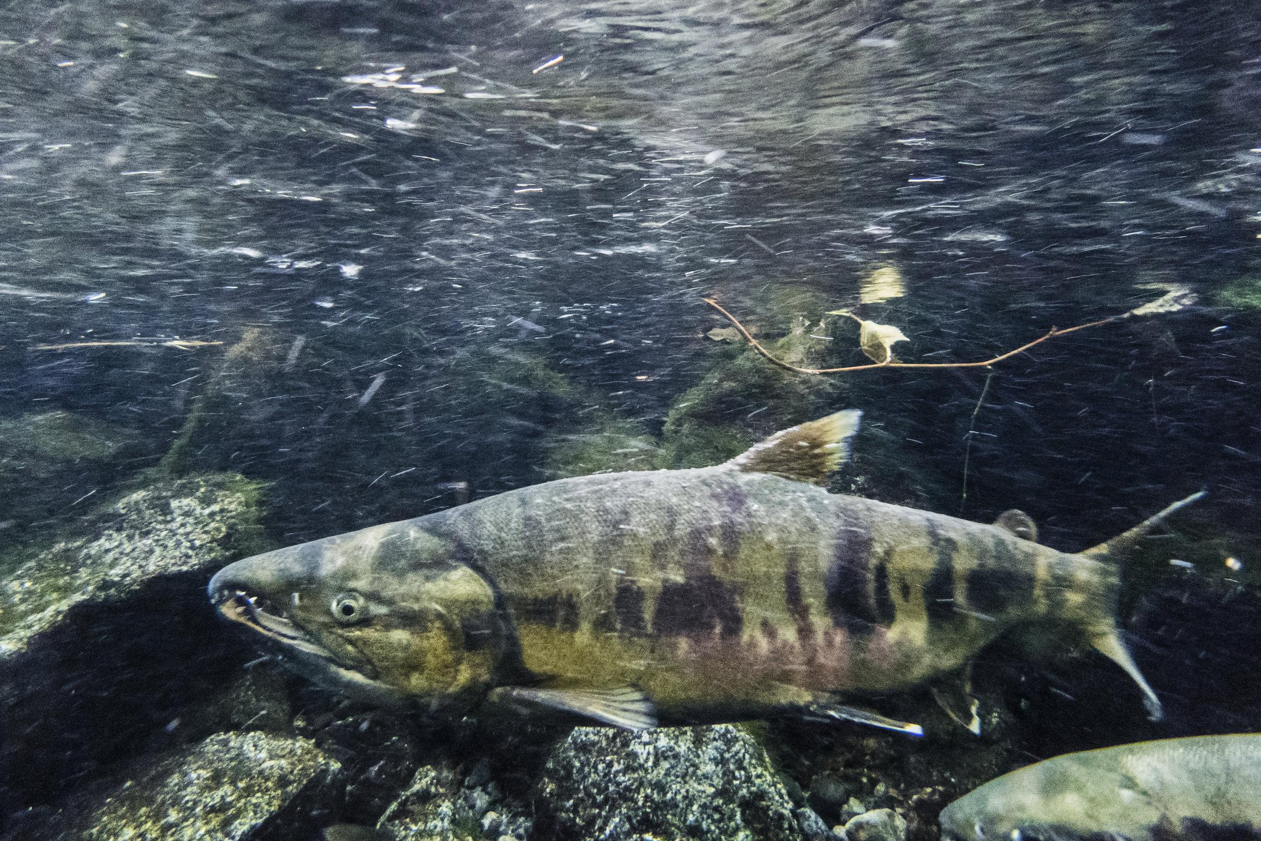 Chum Salmon 5.jpg