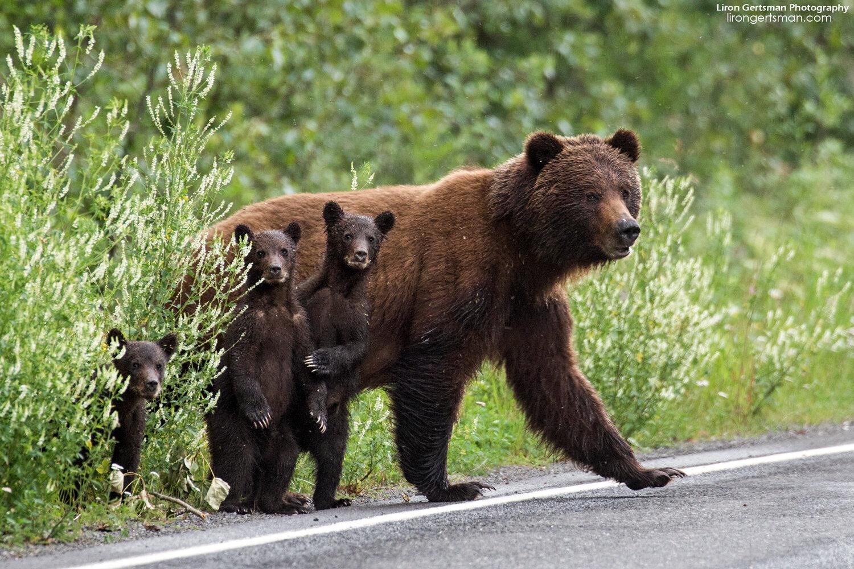 Grizzly-Bear-family-final-web1.jpg