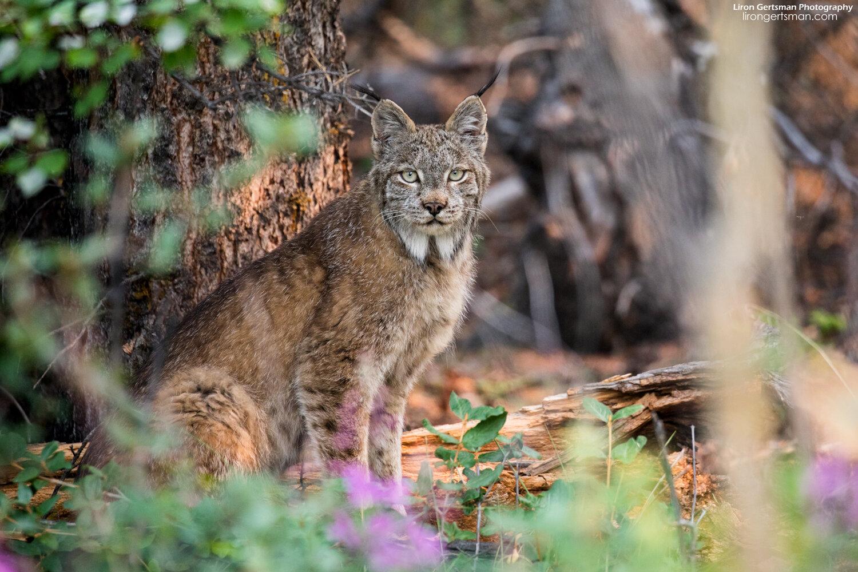 Lynx-mid-crop-final-web.jpg