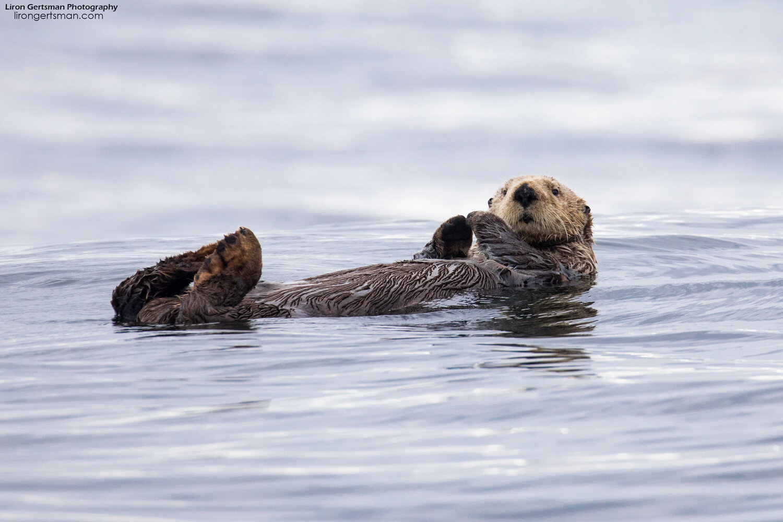 Sea-Otter-web.jpg