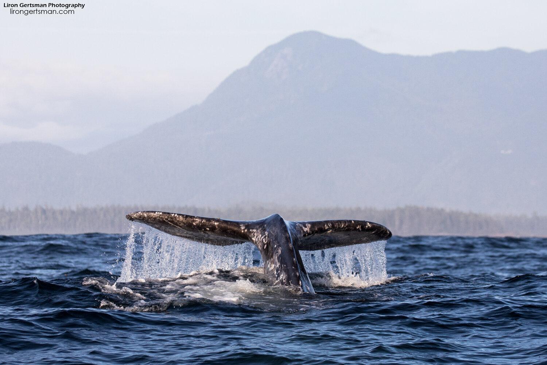Gray-Whale-wide-crop-web.jpg