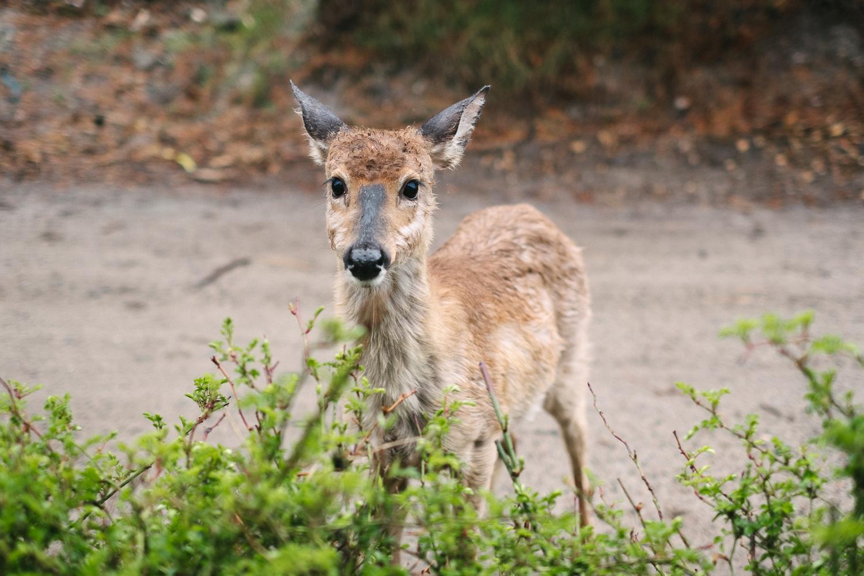A deer on Fire Island. Fuji X-pro 2, Fuji XF 35mm f/1.4.