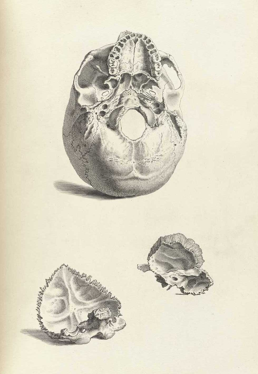 Illustrations sourced from Tabulae Osteologicae by Christoph Jacob Trew