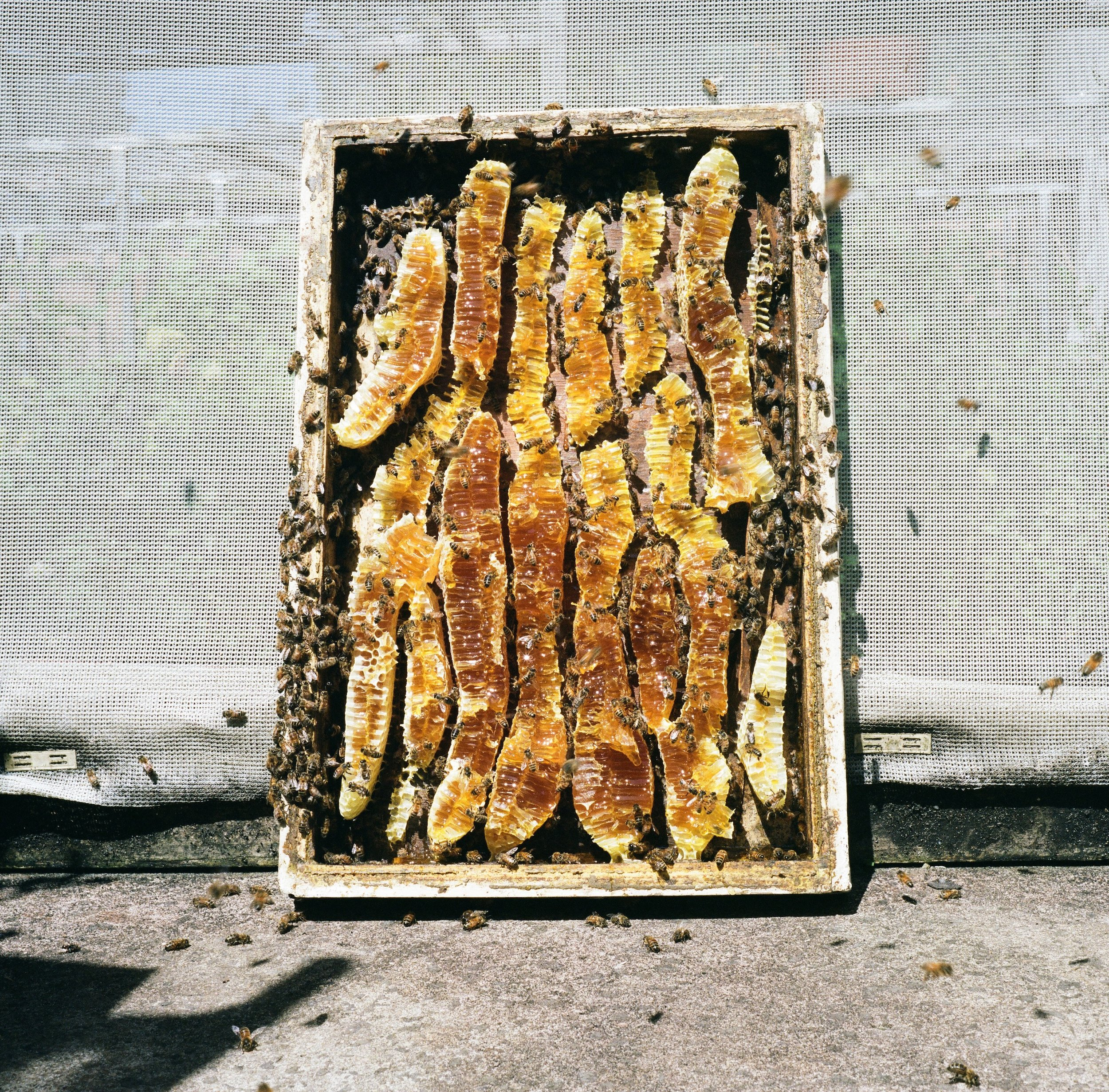 Burr comb on the underside of a hive lid. Burr comb indicates the bees need more room inside the hive. • Photo by Jamie Lozoff