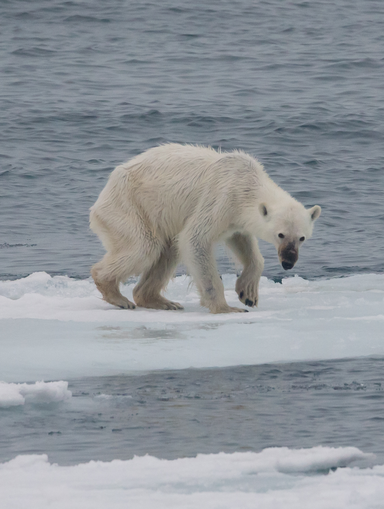 A polar bear starving in the Arctic.  • Photo by Andreas Weith courtesy of Wikimedia Commons