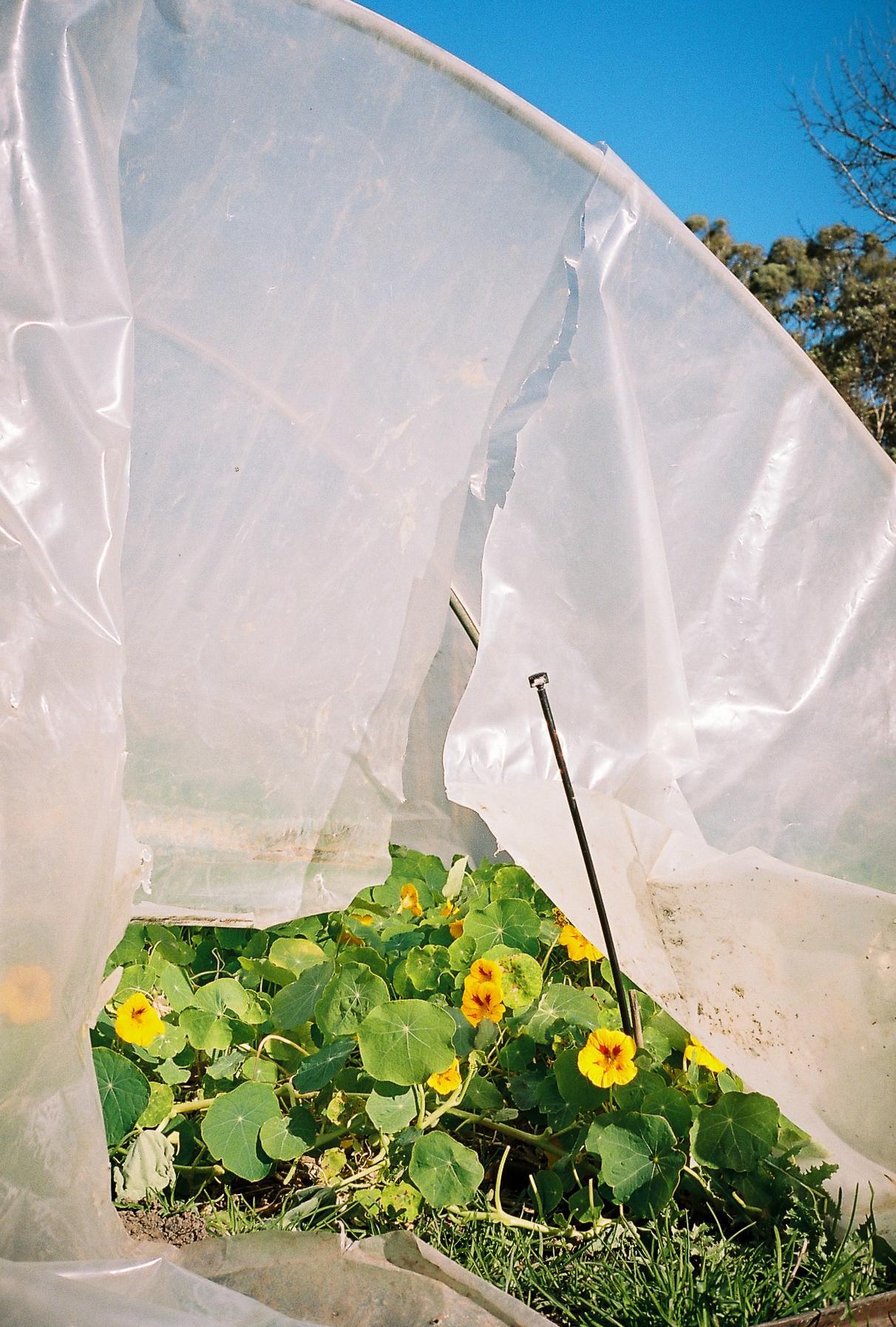 TarraWarra's greenhouse. The nasturtiums naturally deter pests.