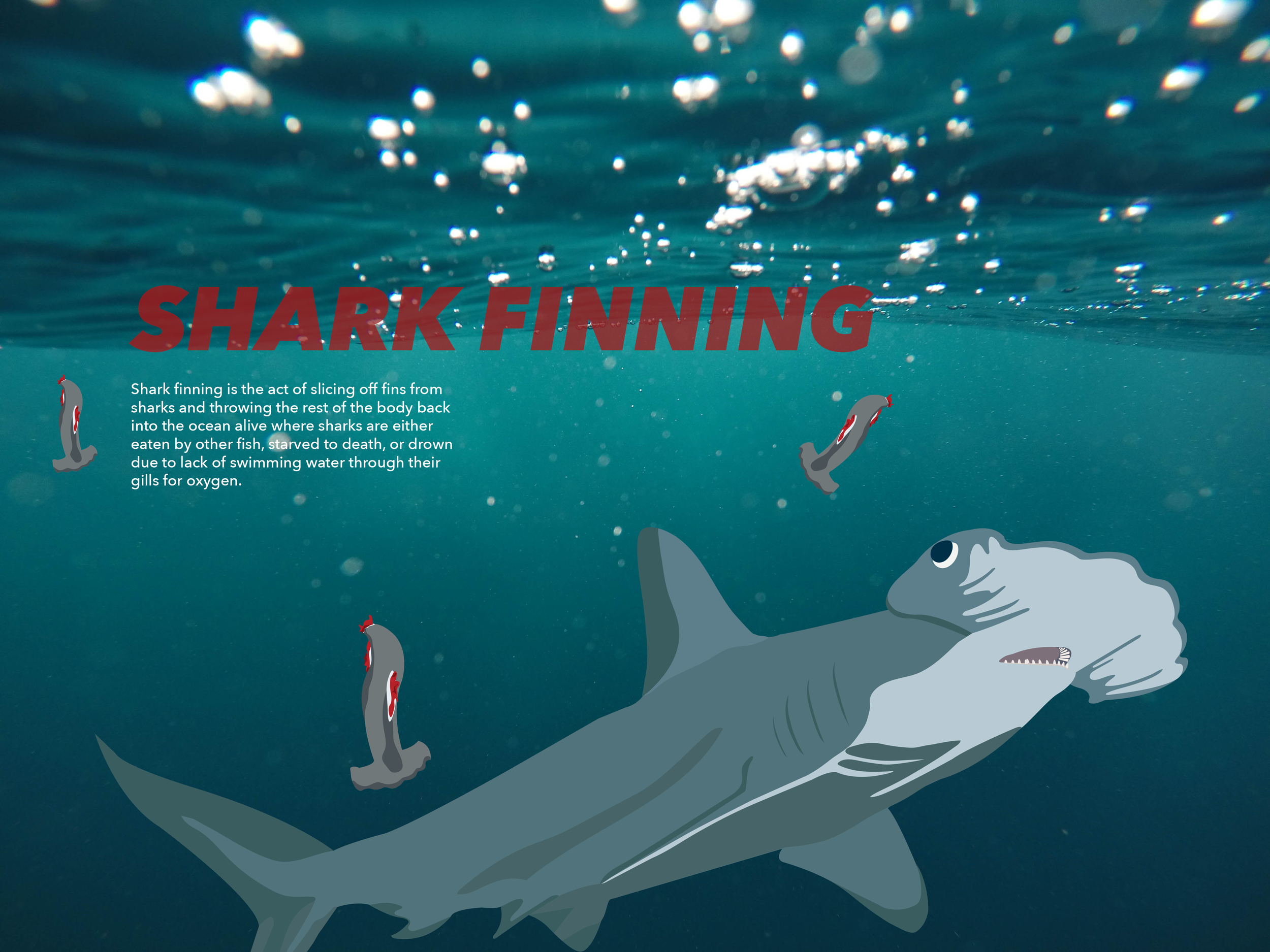 This poster presents a timeline of laws that have been passed to construct ocean and shark protection.